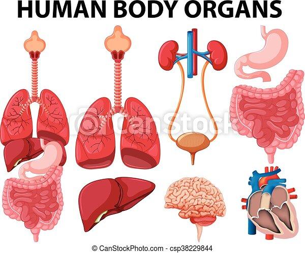 Cuerpo, tipo, diferente, órganos, humano. Cuerpo, diferente, órganos ...
