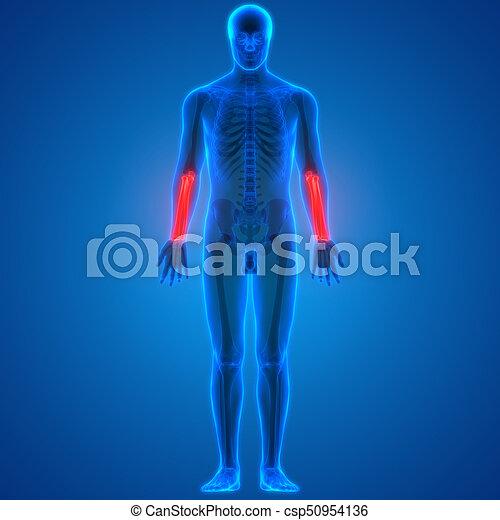 Cúbito, antebrazo, -, /, anatomía, radio, hembra, huesos.