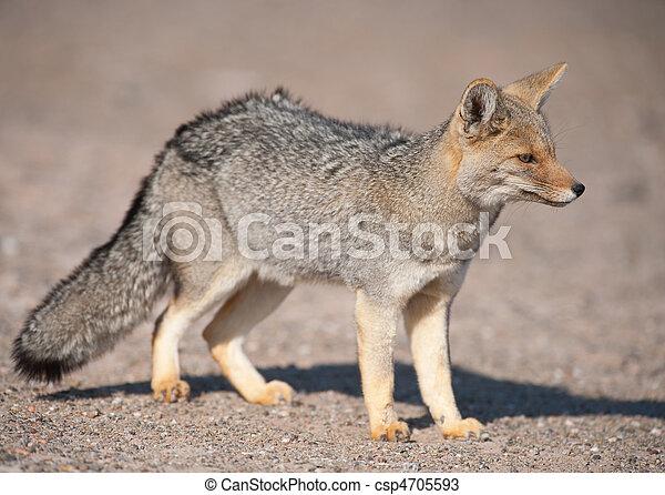culpaeus), (dusicyon, zorro, gris, patagonian - csp4705593