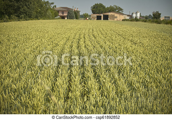 Cultivation of barley - csp61892852