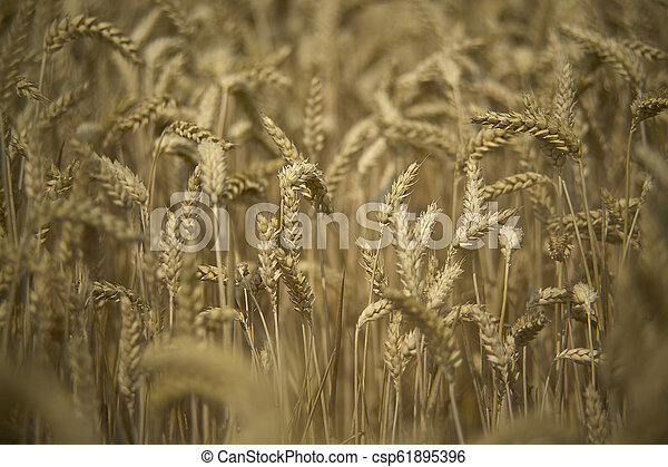 Cultivation of barley - csp61895396