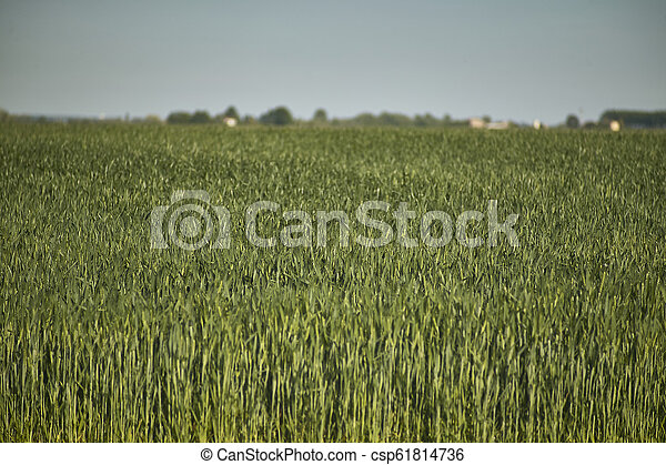 Cultivation of barley - csp61814736
