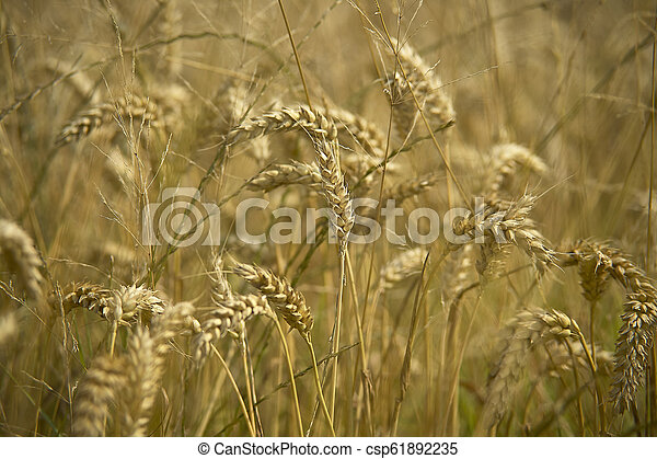 Cultivation of barley - csp61892235