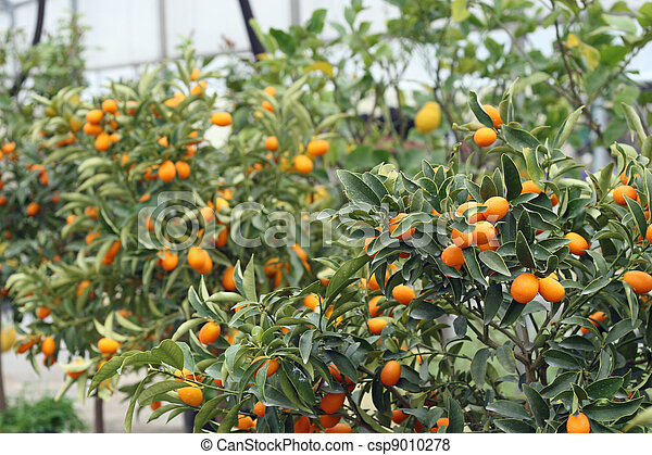 cultivation of citrus fruits of all kinds in a greenhouse in Sicily - csp9010278
