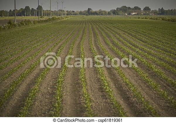 Cultivation of corn - csp61819361