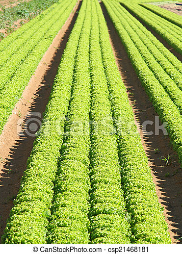 cultivation of green salad in agricultural area 3