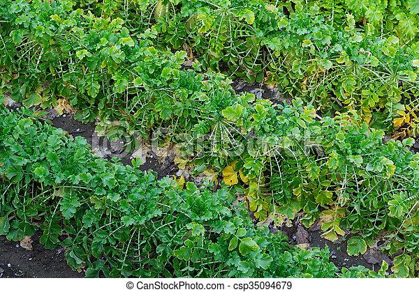 cultive campo, planta, rabanetes - csp35094679