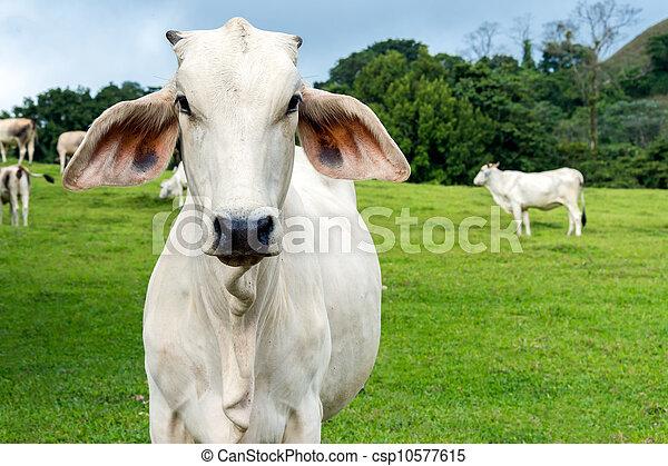 cultures, vache - csp10577615