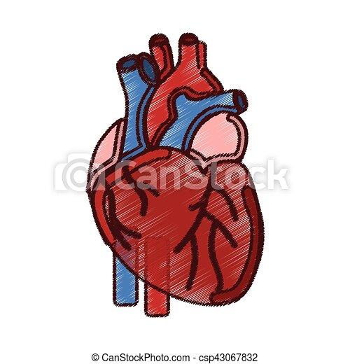 Amato Cuore, umano, organo, icona. Cuore, organo, illustrazione  MT41