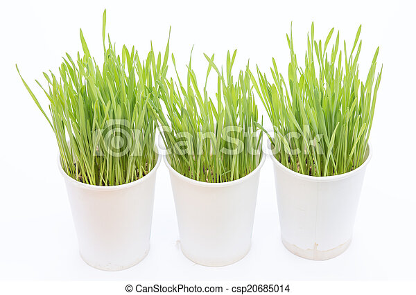 Cup of wheat grass on white background - csp20685014