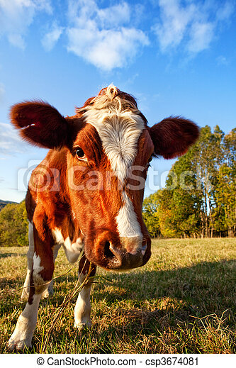 Curios Cow - csp3674081