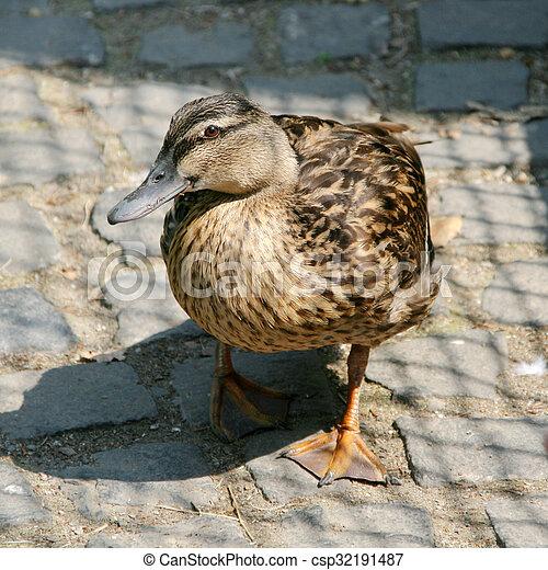 Curios duck - csp32191487