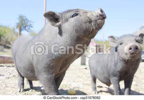 Curios piglets - csp31978082