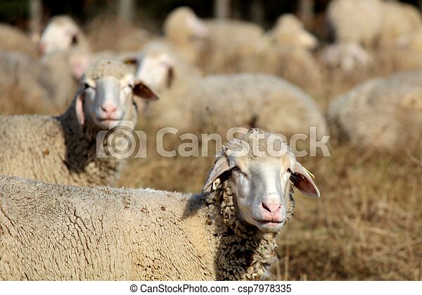 Curios Sheeps - csp7978335