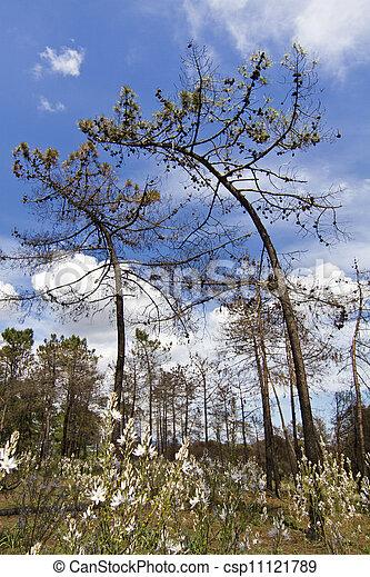 curious bent pine trees - csp11121789