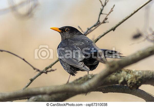 curious blackbird on a branch - csp57310038