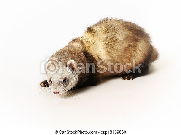 Curious ferret - csp18169860