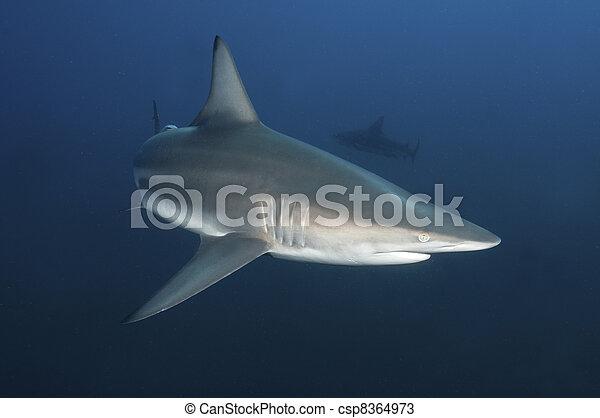Curious shark - csp8364973