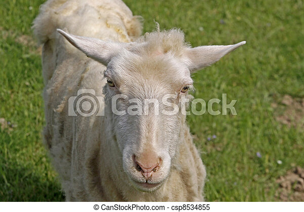 Curious sheep on a pasture, Germany - csp8534855