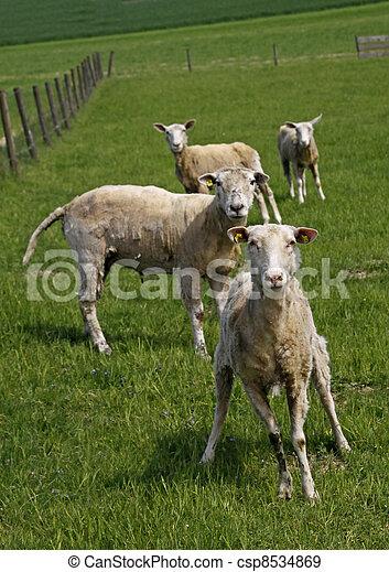 Curious sheeps on a pasture, German - csp8534869