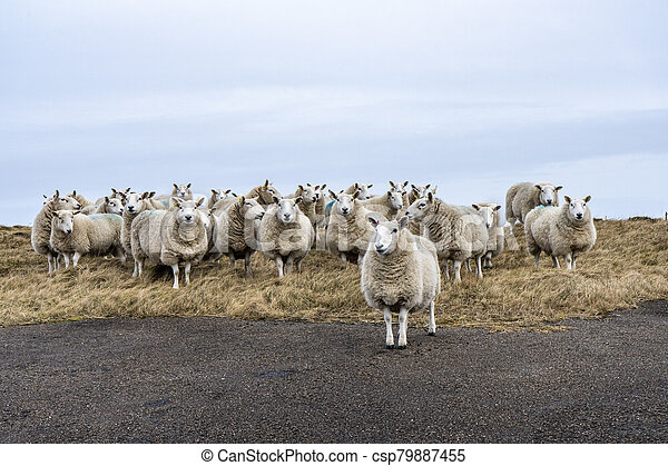 Curious sheeps standing on pasture - csp79887455