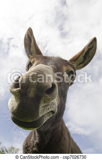 Curious Simple Jackass or Donkey - csp7026730