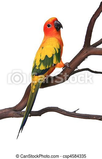 Curious Sun Conure Bird on a Branch - csp4584335