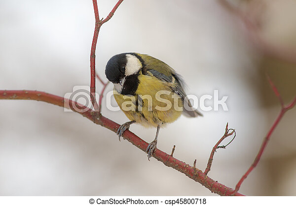 Curious tit on a branch - csp45800718