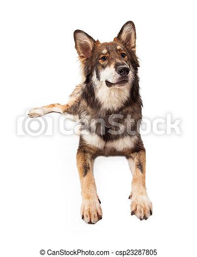 Curious Wolf and German Shepherd Cross Dog - csp23287805
