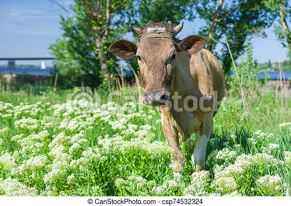 Curious young cow on a spring pasture - csp74532324