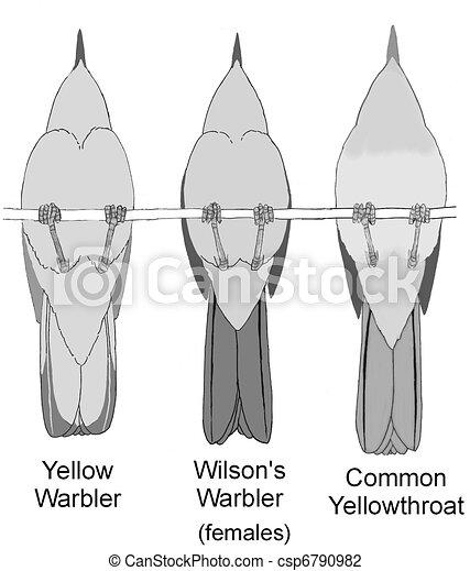 Comparación de 3 Warblers 1 femeninos - csp6790982