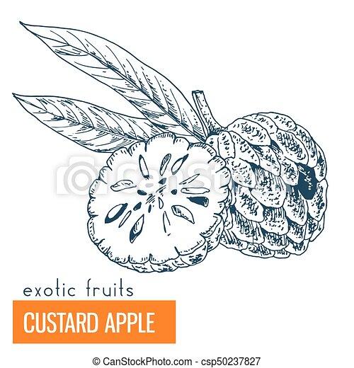 Custard apple. Hand drawn vector illustration - csp50237827