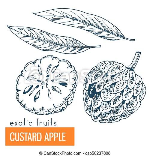 Custard apple. Hand drawn vector illustration - csp50237808