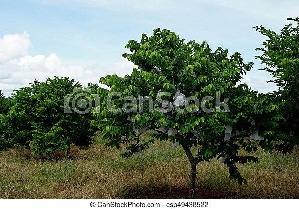 Images Of Custard Apple Tree