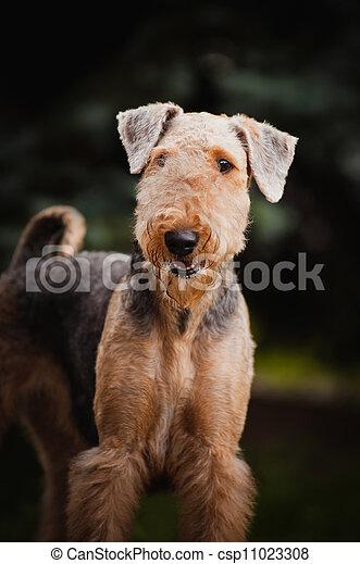 cute Airedale Terrier portrait - csp11023308