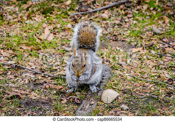 Cute American Grey Squirrel Eating a Nut in Central Park - csp86665534