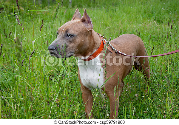 Cute american staffordshire terrier puppy is standing on a spring meadow   Five month old