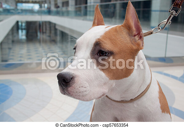 Cute american staffordshire terrier puppy close up  Pet animals