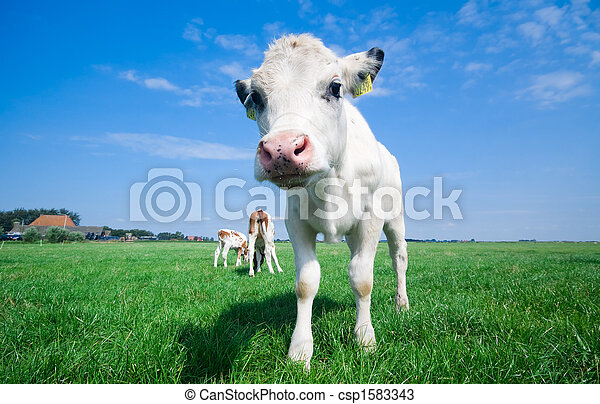 cute baby cow - csp1583343