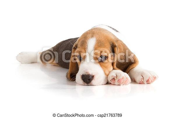 Cute Beagle Puppy - csp21763789