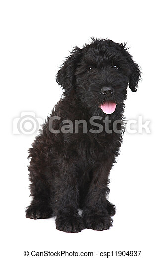 Cute Black Russian Terrier Puppy Dog On White Background