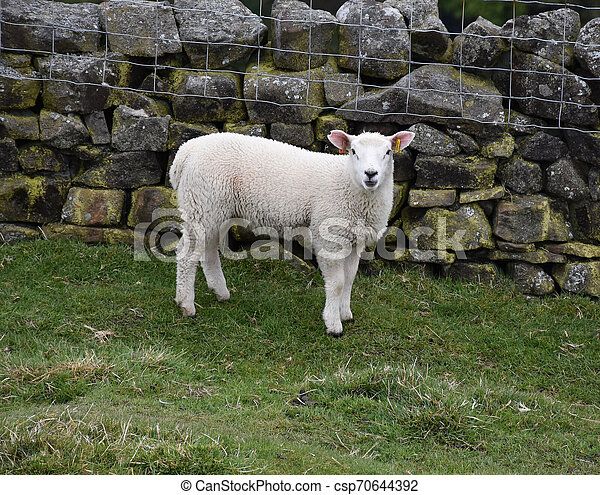 Cute Bleating Young White Lamb in a Field - csp70644392