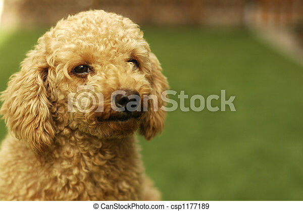Cute Brown Poodle - csp1177189
