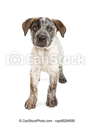 Cute Cattle Dog Puppy Standing on White - csp48294595