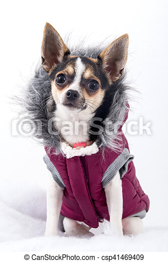 cute chihuahua dog with winter coat - csp41469409