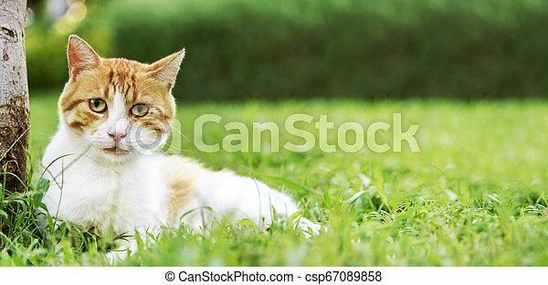 Cute domestic ginger cat relax in outdoor garden. - csp67089858