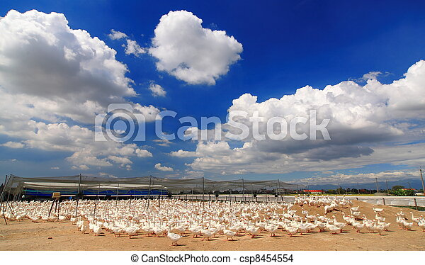 cute ducks with sunny sky and beautiful cloud - csp8454554