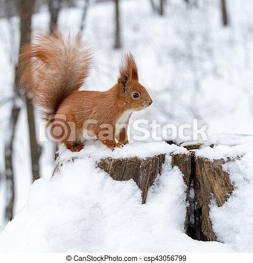 bcf2266c574 Cute, egern, dunede, sne, forest., hvid, vinter. Cute, egern, dunede ...