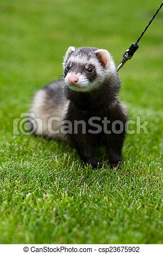 Cute ferret on a leash - csp23675902
