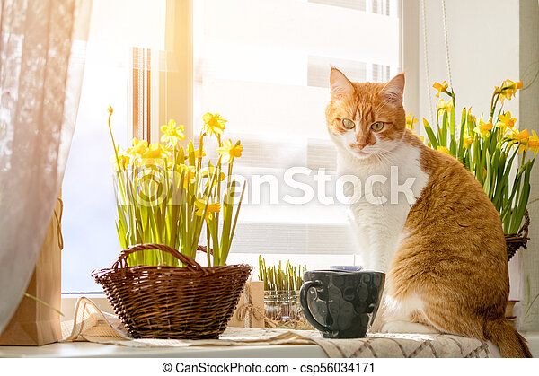 Cute funny red-white cat on the windowsill with blossom yellow daffodils - csp56034171